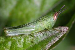 Grasshopper. Its very nice grasshopper little green grasshopper close-up to grasshopper Royalty Free Stock Images