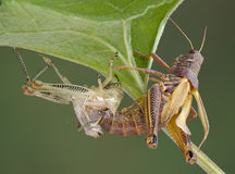 Grasshopper shedding Royalty Free Stock Photography
