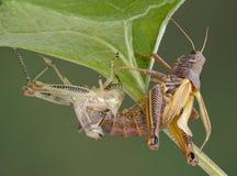 Grasshopper shedding Royalty Free Stock Photography