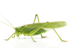 Grasshopper side Stock Photography