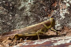 Grasshopper side view Stock Photography