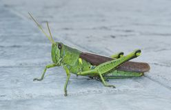Grasshopper on Sidewalk Stock Photo