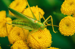 Grasshopper siiting on yellow flowers. Stock Photo