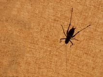 Grasshopper silhouet. Sitting on tent Stock Images