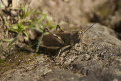 Grasshopper with a single antenna. On the ground Stock Photos