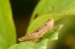 Grasshopper sit on green leaf Royalty Free Stock Photos