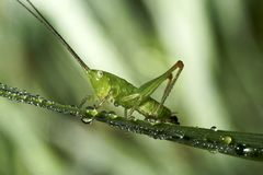 Grasshopper sits on a blade of grass. royalty free stock images