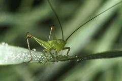 Grasshopper sits on a blade of grass. royalty free stock photos