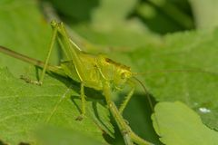 Grasshopper sits on the grass close-up. Macro photo of a grasshopper sitting on a sheet. Locust sitting in the grass. Stock Image