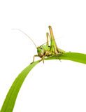 Grasshopper sits on the green grass. On white background Royalty Free Stock Photo