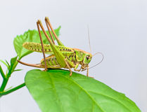 Grasshopper sits on leaf. Grasshopper sits on a large green leaf Stock Images