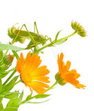 Grasshopper sits on a marigold. Green grasshopper sitting on a flower calendula Royalty Free Stock Photo