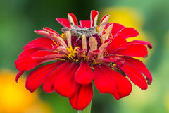 Grasshopper sits on a zinnia flower on other flowers background. Grasshopper sits on a zinnia flower Royalty Free Stock Photography