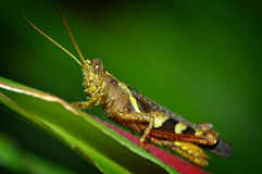 Grasshopper sitting on a blade Stock Photo