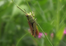 Grasshopper sitting on blade Stock Photography