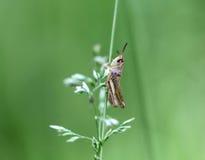 Grasshopper sitting Royalty Free Stock Photography