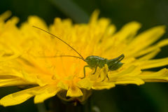 Grasshopper sitting on dandelion Stock Photo