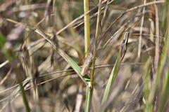 Grasshopper. Sitting on a ear Royalty Free Stock Photo
