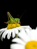 Grasshopper sitting on a flower daisies. On black background close up Royalty Free Stock Photo