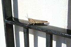 Grasshopper. Is sitting on gate in the sunshine Stock Image