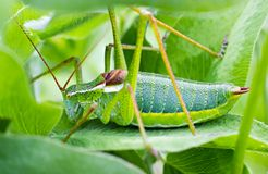 The grasshopper sitting in the grass Royalty Free Stock Photo