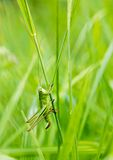 The grasshopper sitting in the grass Stock Photos