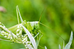 The grasshopper sitting in the grass Royalty Free Stock Image