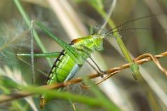 Grasshopper. Sitting in the grass Stock Photo