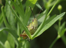 Grasshopper sitting in grass Royalty Free Stock Photos