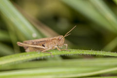 Grasshopper sitting on the grass Royalty Free Stock Images