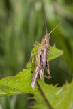 Grasshopper sitting on the grass, view from the side Stock Photos