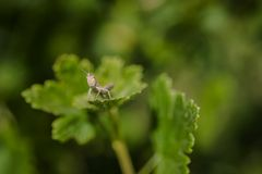 Grasshopper sitting on green gooseberry bush royalty free stock photography