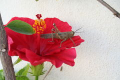 Grasshopper. Is sitting on Hibiscus flower in the sunshine Royalty Free Stock Photo