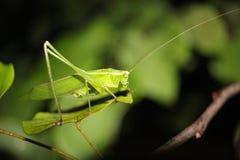 Grasshopper sitting on a leaf Stock Images
