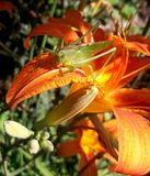 Grasshopper sitting on a lily royalty free stock photography