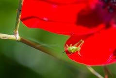 Grasshopper sitting Royalty Free Stock Image