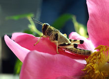 Grasshopper sitting pink flower closeup Stock Images