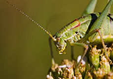 The grasshopper sitting on the plant Stock Photography