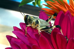 Grasshopper sitting on red flower petals closeup Royalty Free Stock Image