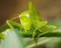 Grasshopper sitting on the stem Stock Photography