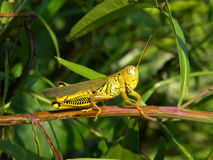 Grasshopper. On sitting on a stick with green background Royalty Free Stock Photography