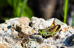 The grasshopper sitting on the stone Royalty Free Stock Photo