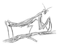 Mantis sitting on tree, side view Stock Images