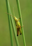 Grasshopper. Sitting on vertical grass stem Stock Photos