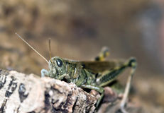 Grasshopper Sitting on Wood. A grasshopper on a log or piece of wood Royalty Free Stock Image