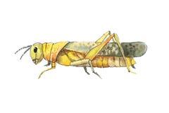Grasshopper sketch. Hand drwan watercolor sketch of grasshopper. Royalty Free Stock Photography