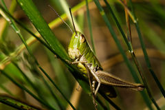 Grasshopper. Small grasshopper sitting on grass Royalty Free Stock Photos