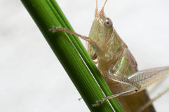 grasshopper in soil Royalty Free Stock Images