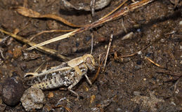 Grasshopper on the Soil Stock Images