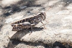 Grasshopper in the south of France. Mimicking its environment Stock Image